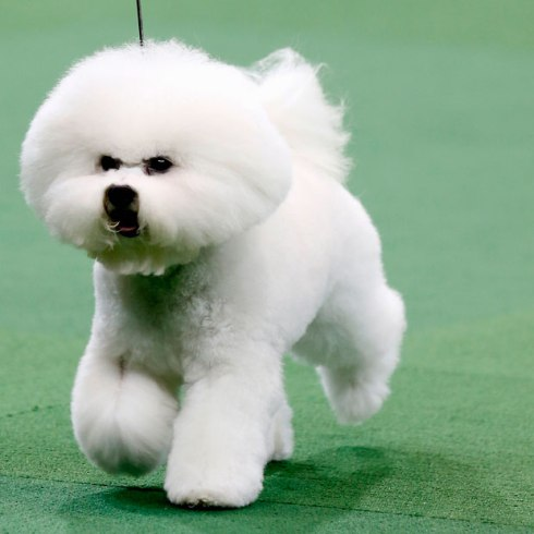 honor-bichon-frise_2478578k