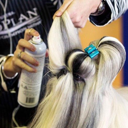 shih-tzu-hairspray_2478575k